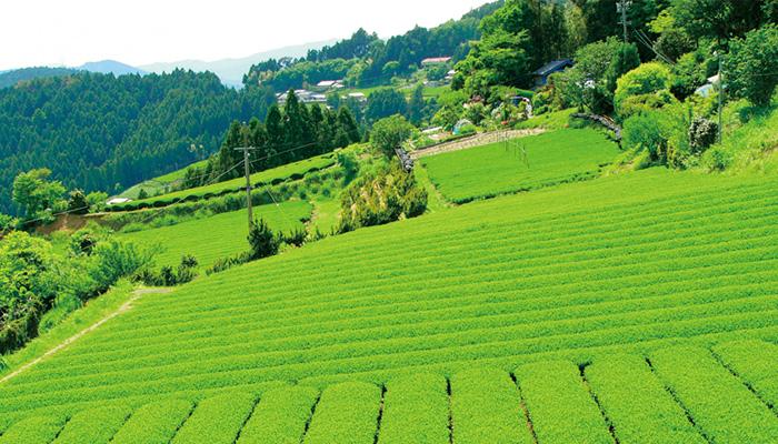 春野 有機栽培茶 山吹撫子