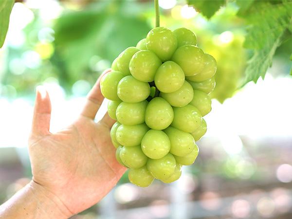 希少なブドウ品種のマスカ・サーティーン