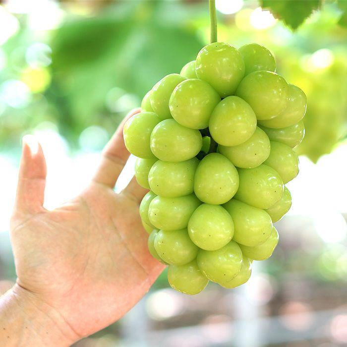 希少種高級ブドウ「マスカ・サーティーン」大きさ